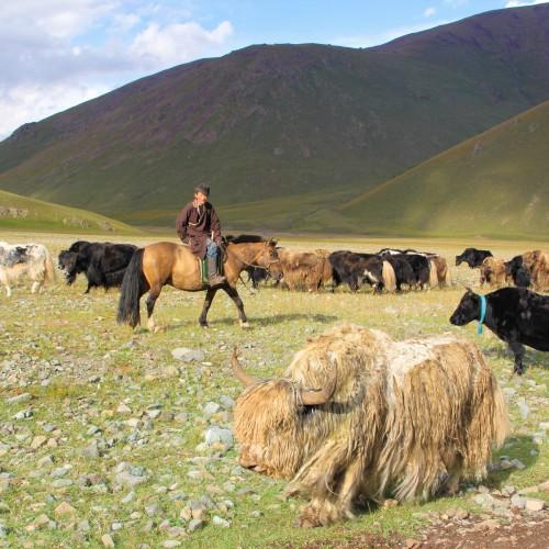 36 troupeau de yak
