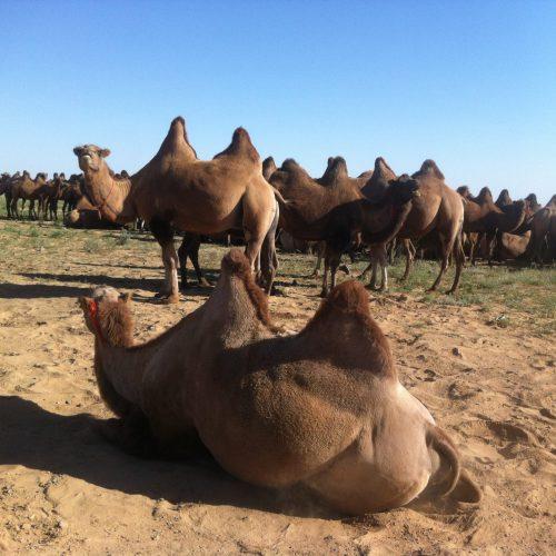 63 troupeau chameau Gobi